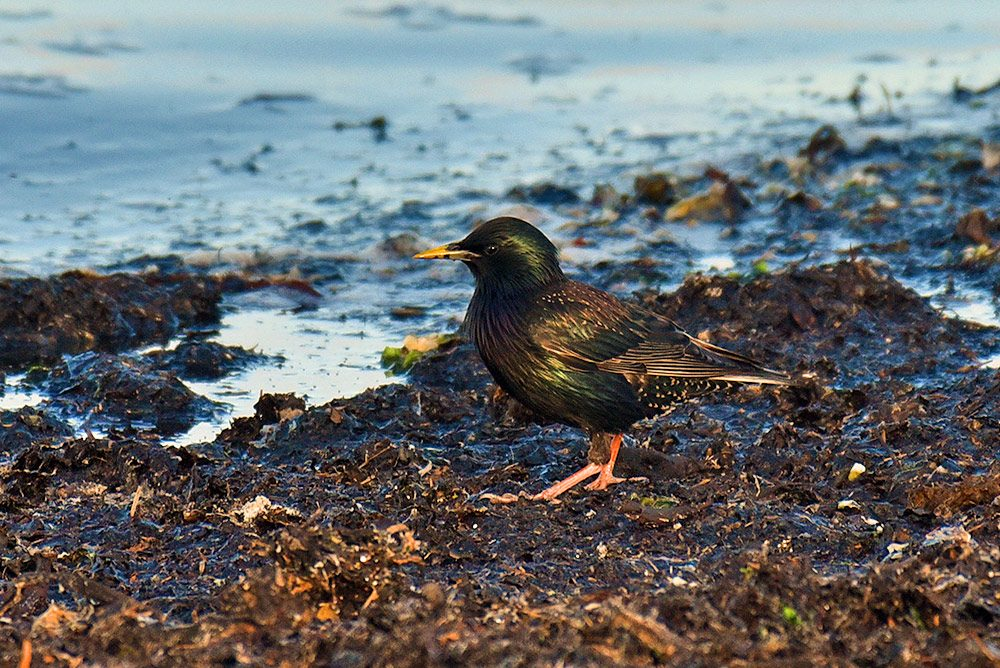 Picture of a starling on some rotting seaweed on a shore