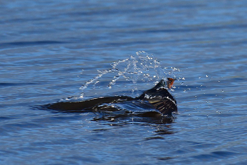 Picture of a Swallow emerging from the water after trying to catch an insect