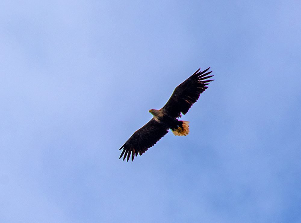 Picture of a White-Tailed Eagle in flight
