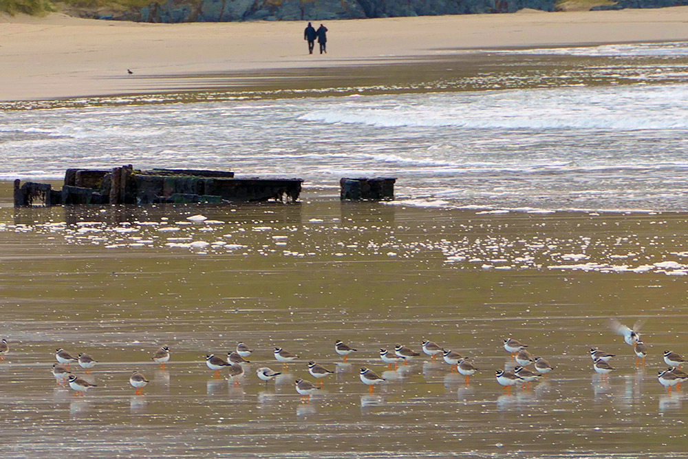 Picture of Ringed Plovers near a wreck on a beach