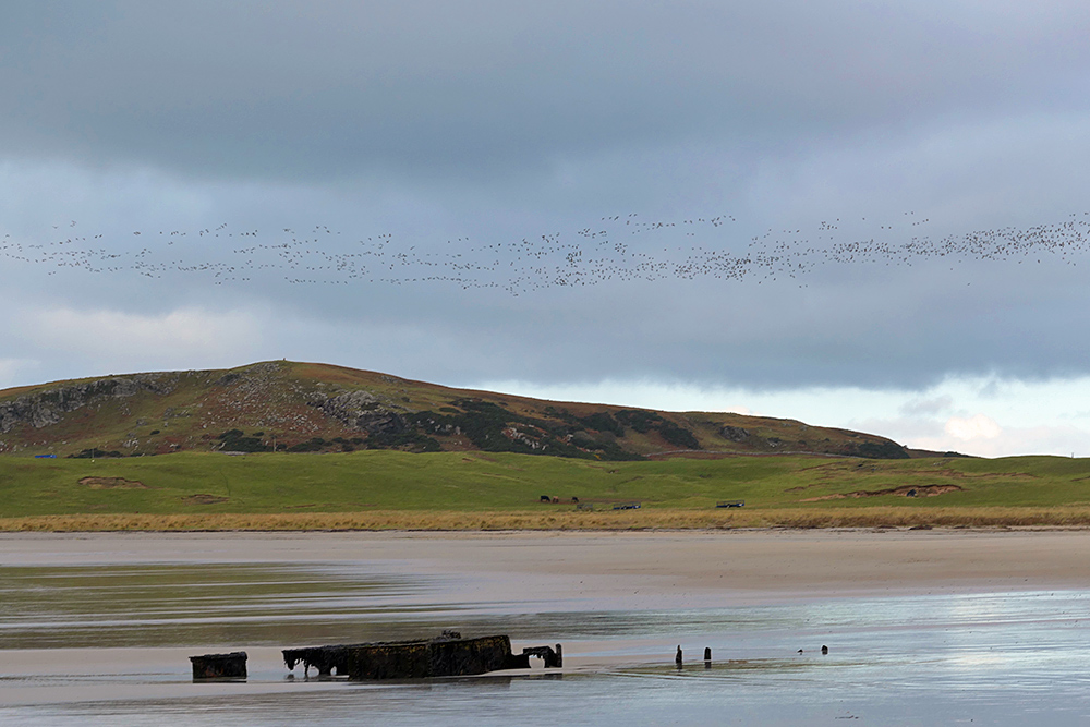 Picture of a large number of Barnacle Geese flying over a low coastal hill, a wreck on a beach also in the picture