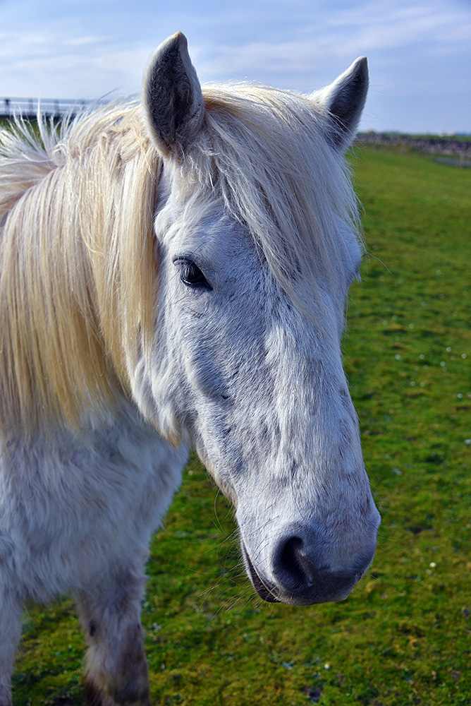 Picture of the head of a white horse