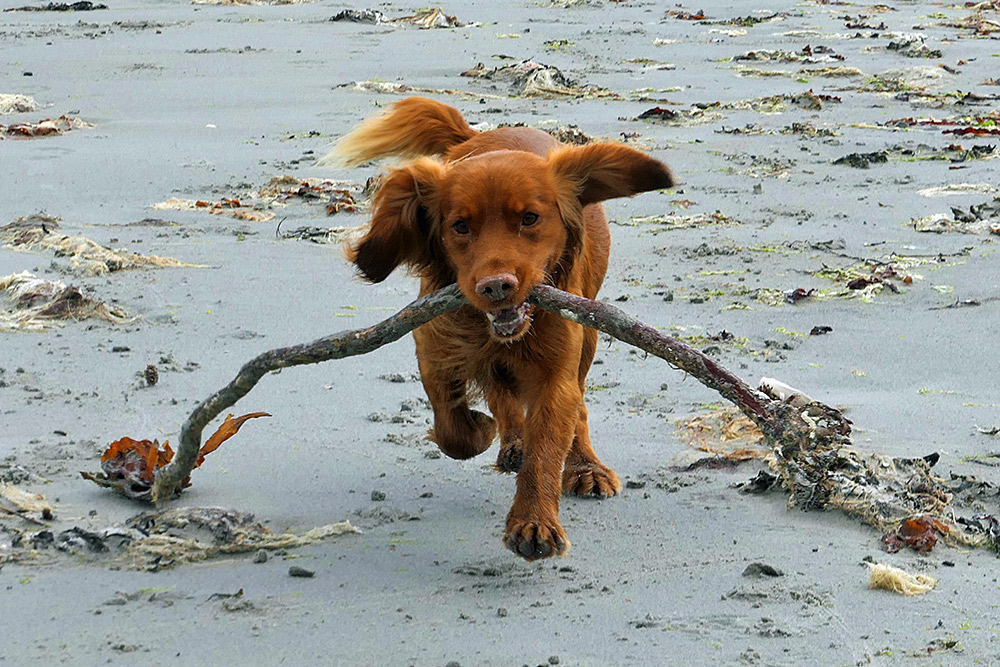 Picture of a young dog playing fetch with some seaweed on a beach