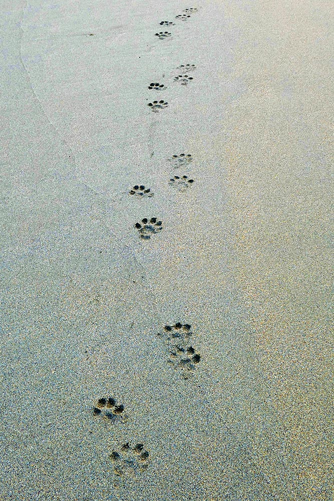 Picture of Otter footprints on a beach
