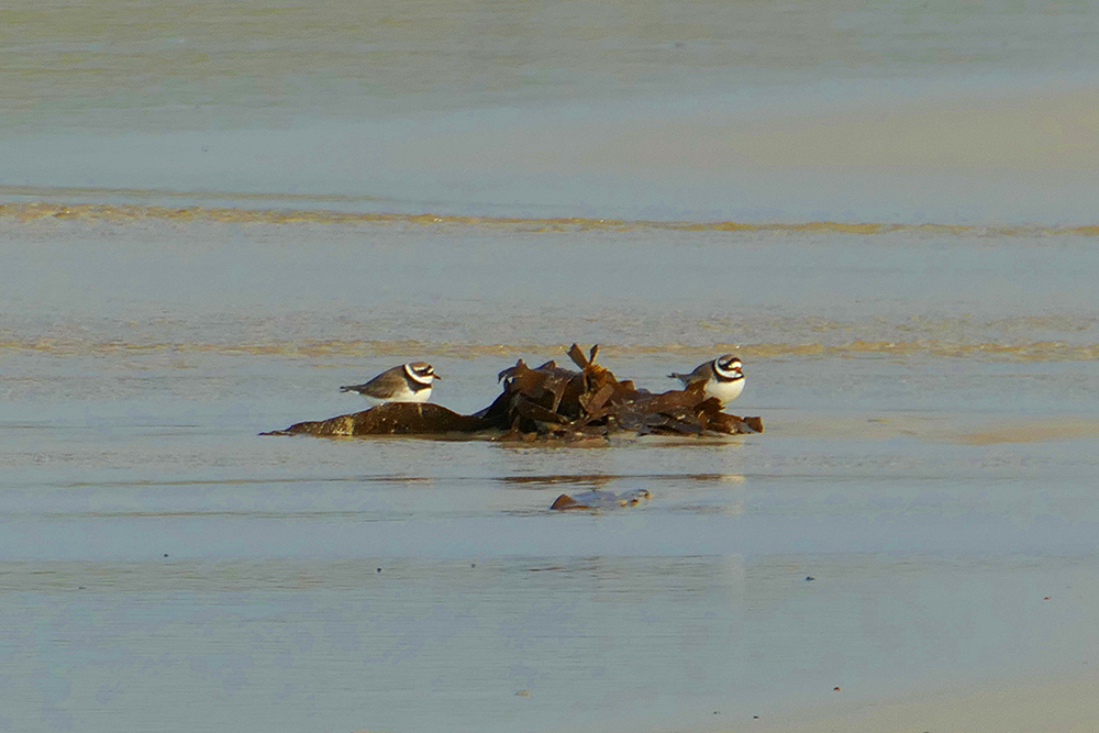 Picture of two Ringed Plovers each side of some seaweed