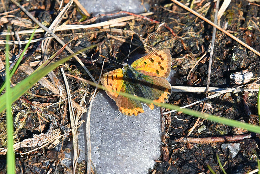 Picture of a Small Copper butterfly