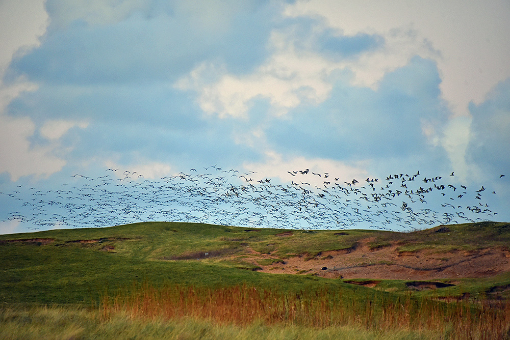 Picture of a large number of geese flying low above some dunes
