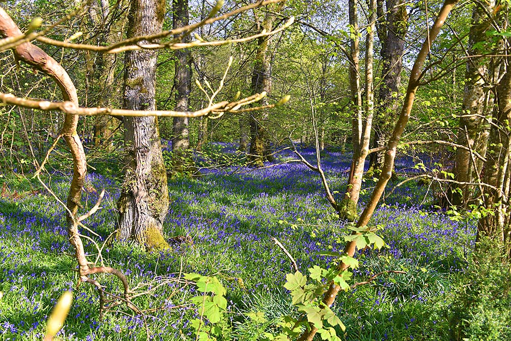 Picture of bluebells in a woodland
