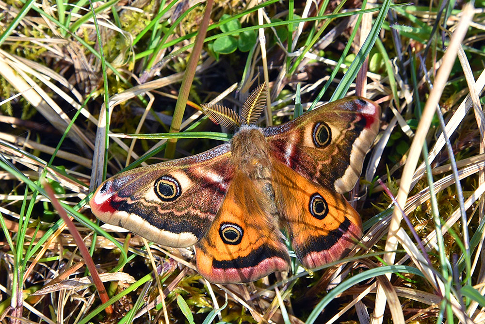 Picture of an Emperor Moth in high grass