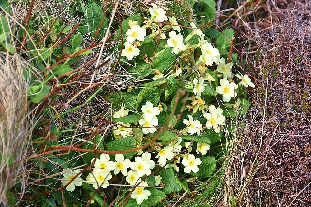 Picture of some wild Primroses