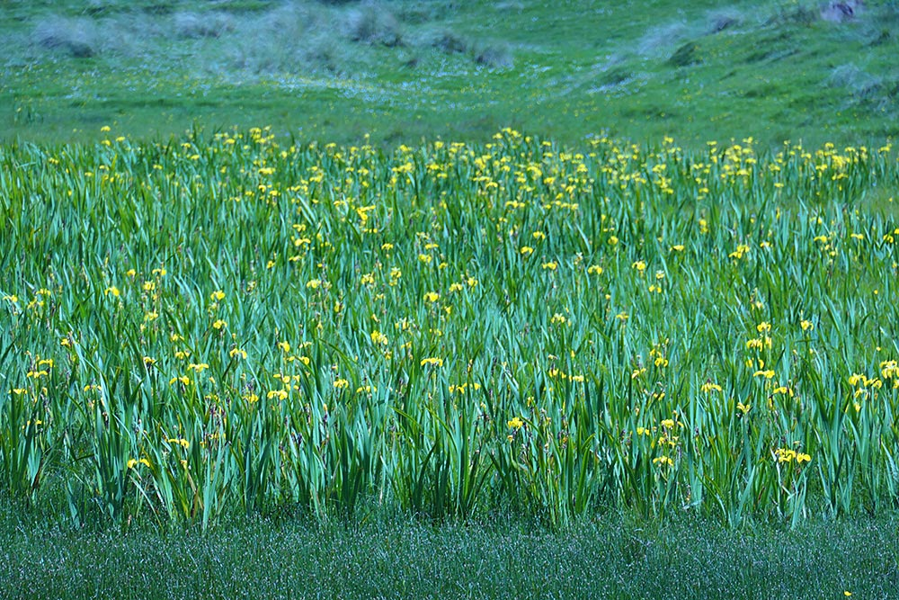 Picture of a field of Yellow Flag Iris