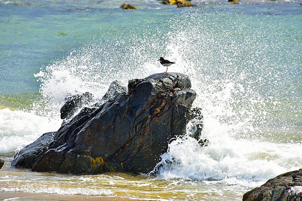 Picture of an Oystercatcher on a rock with a wave breaking over it