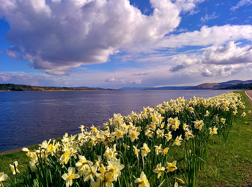 Picture of daffodils on a verge between a road and a sea loch
