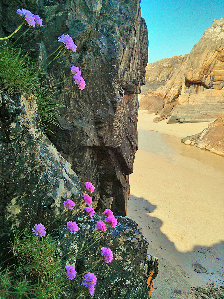 Picture of sea pinks on rocks at a beach