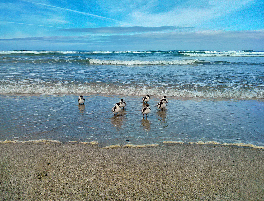 Picture of 7 Shelduck ducklings in the surf on a sandy beach