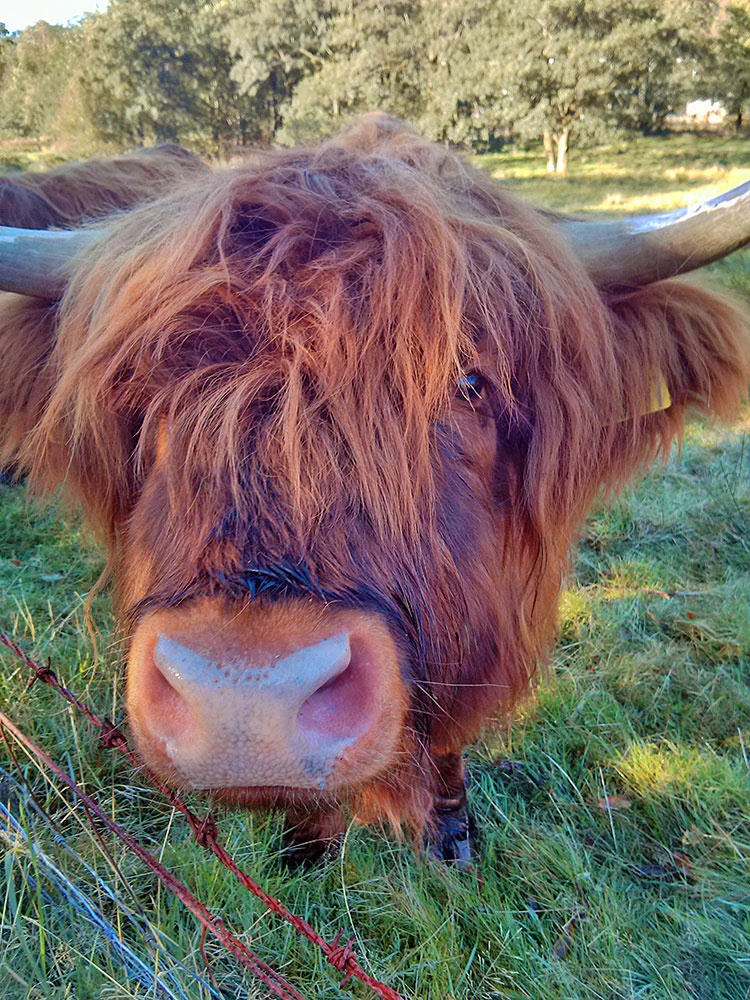 Picture of a curious Highland Cow looking over a fence