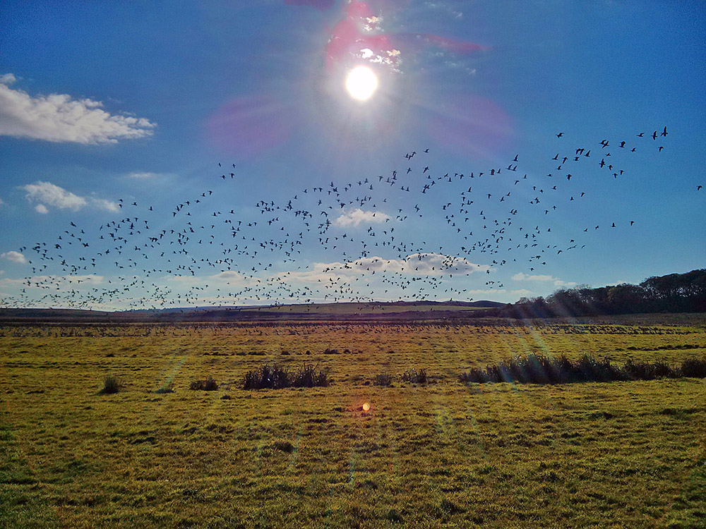 Picture of Barnacle Geese in the air and on the ground under some bright October sunshine