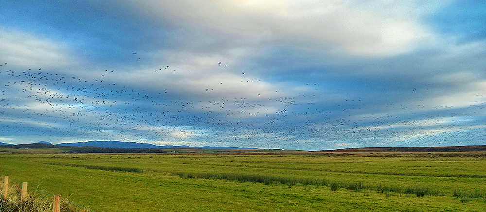 Picture of a large number of Barnacle Geese flying over fields