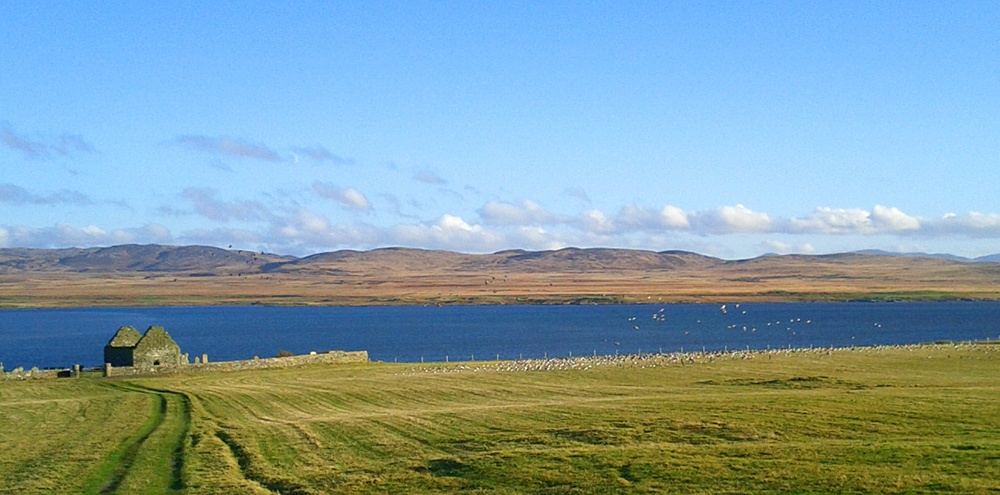 Picture of a field with Barnacle Geese next to the old ruin of a chapel