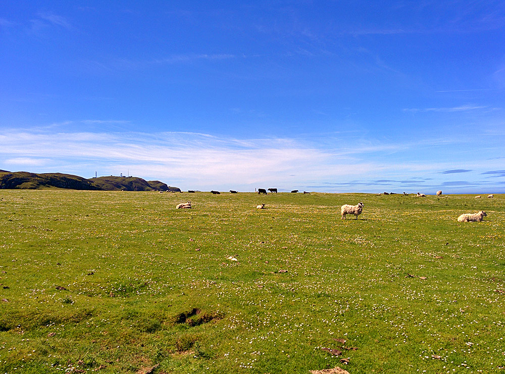 Picture of sheep and cattle in a coastal field known as machair