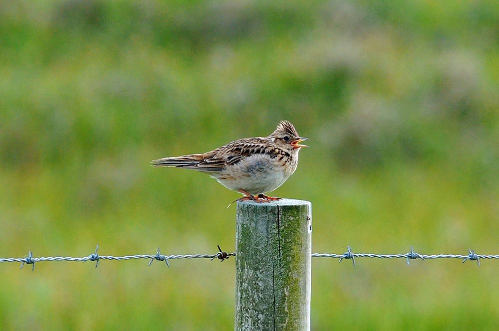 Picture of a Skylark singing on a fence post