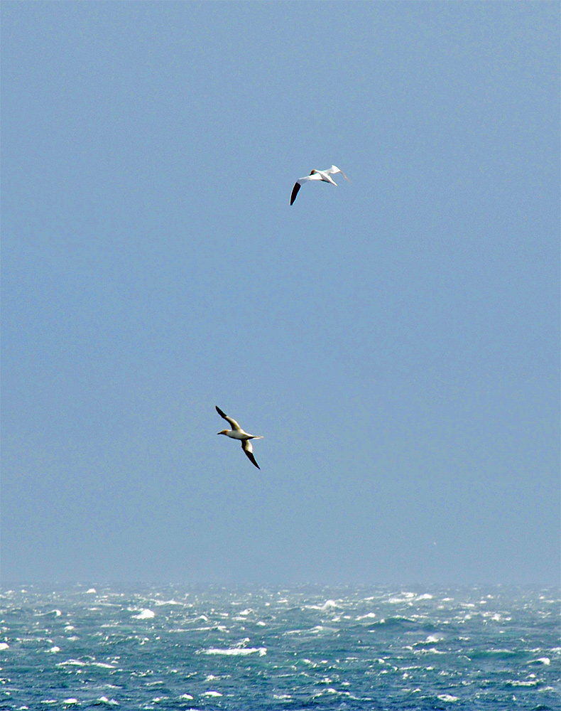 Picture of two Gannets in flight over choppy seas