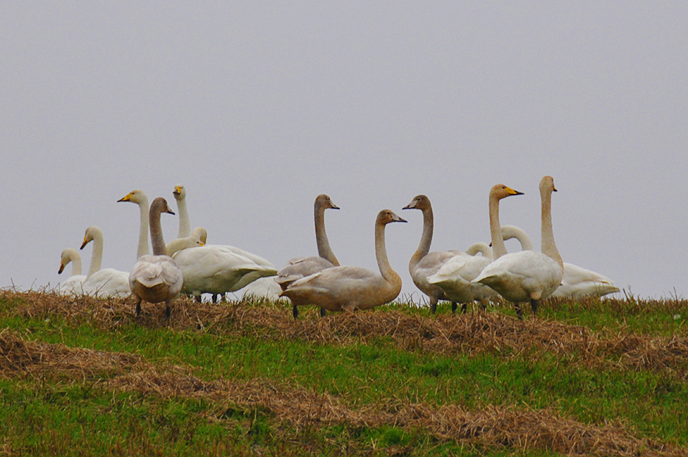 Picture of several Whooper Swans in a field