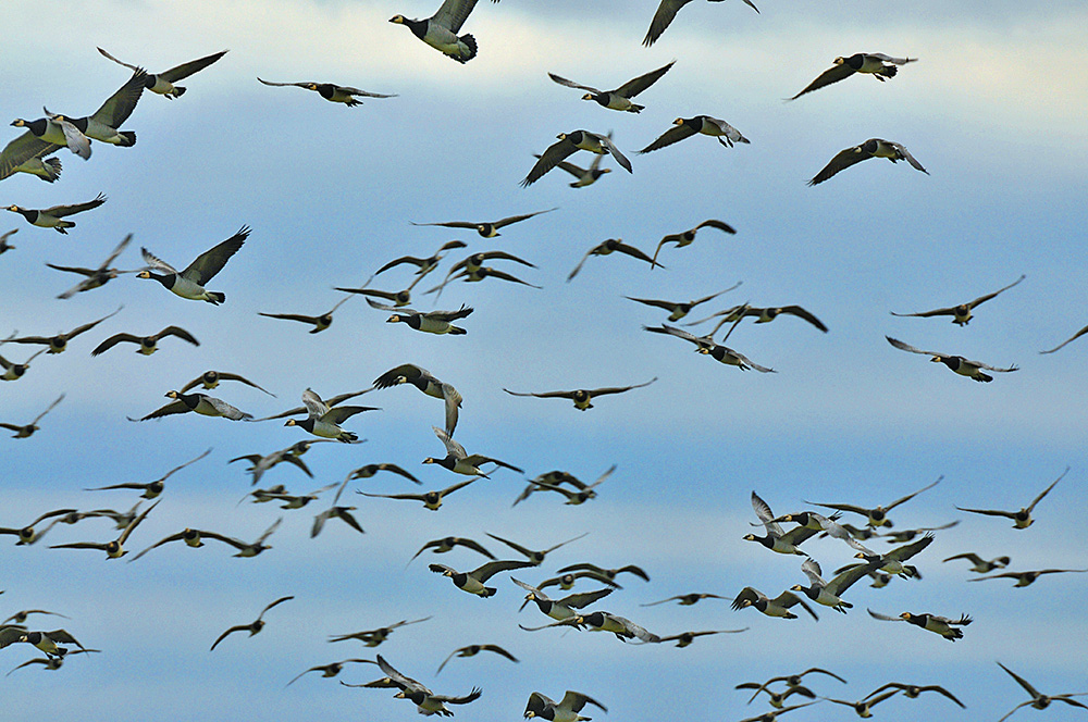Picture of a few dozen of Barnacle Geese in flight