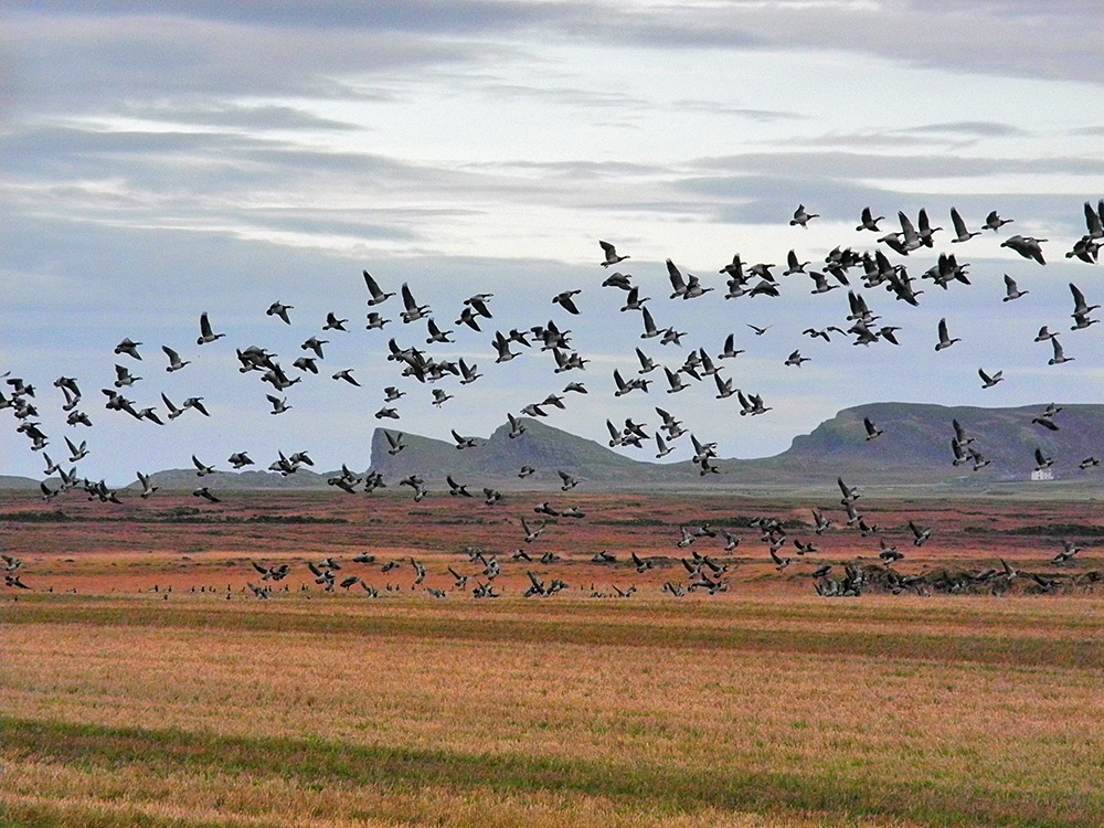 Picture of Barnacle Geese flying off from a field with a distinctive rock formation in the background