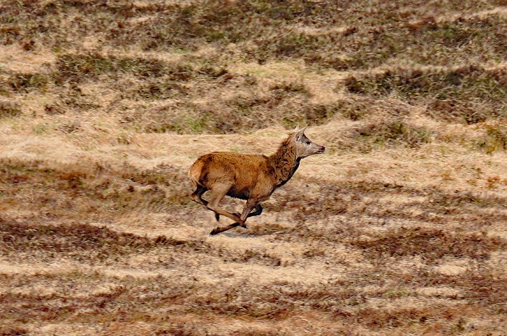 Picture of a deer running in full flight