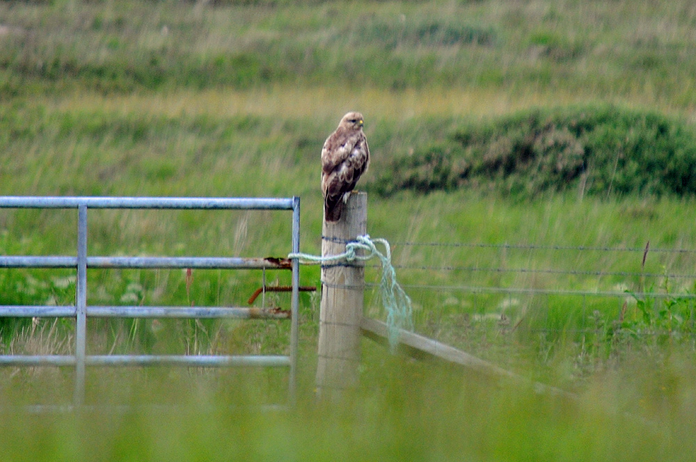 Picture of a Buzzard with fluffy feathers sitting on a gate post