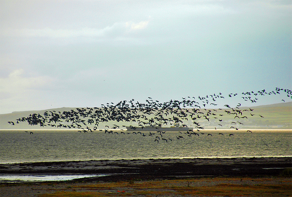 Picture of a large flock of Barnacle Geese in front of a ship anchored in a sea loch