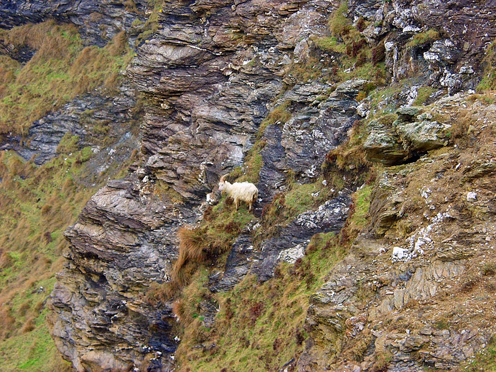 Picture of a wild goat on a steep cliff face