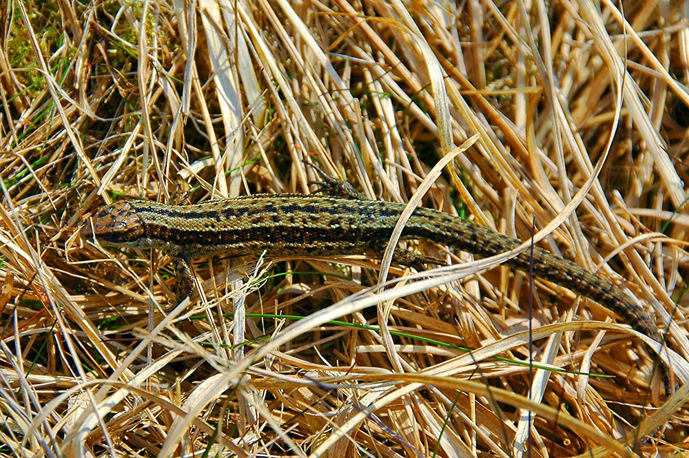 Picture of a lizard in high brown grass