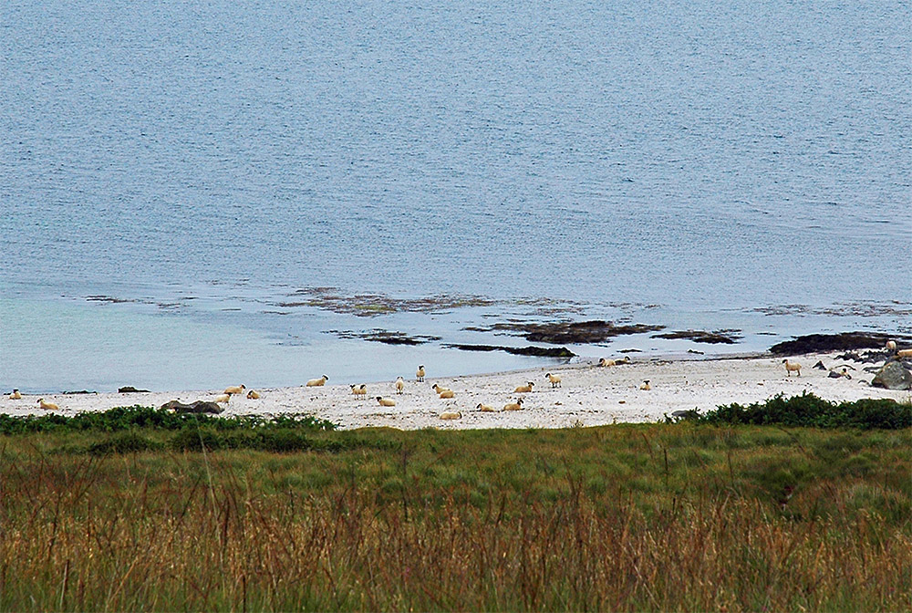 Picture of a good number of sheep on a small beach