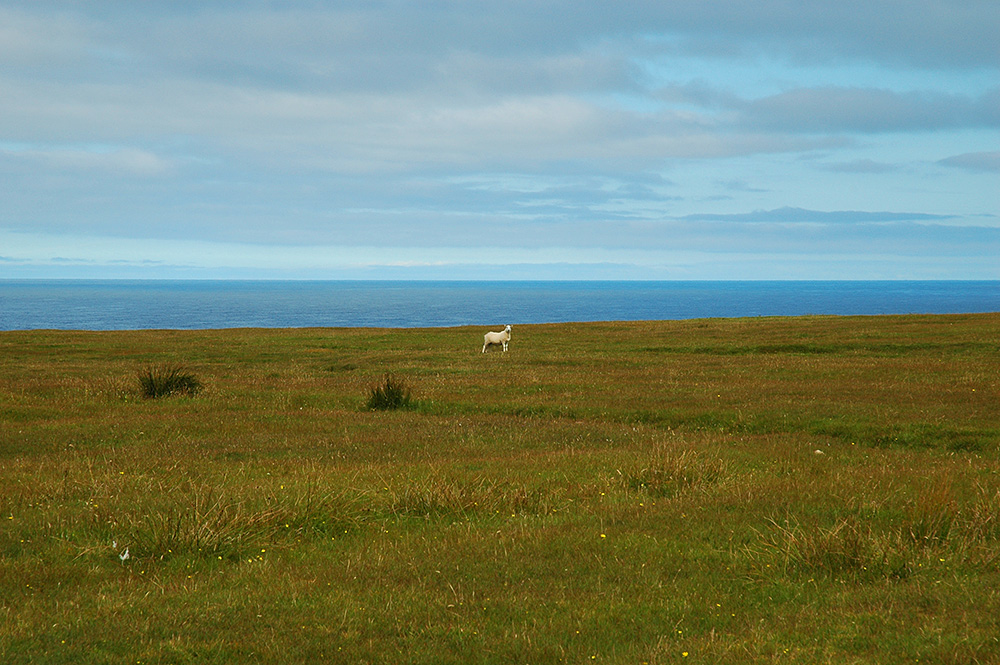 Picture of a sheep on a plateau above the sea