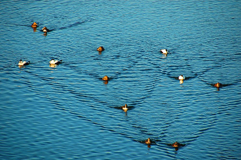 Picture of 12 Eider Ducks in some mild autumn sunshine