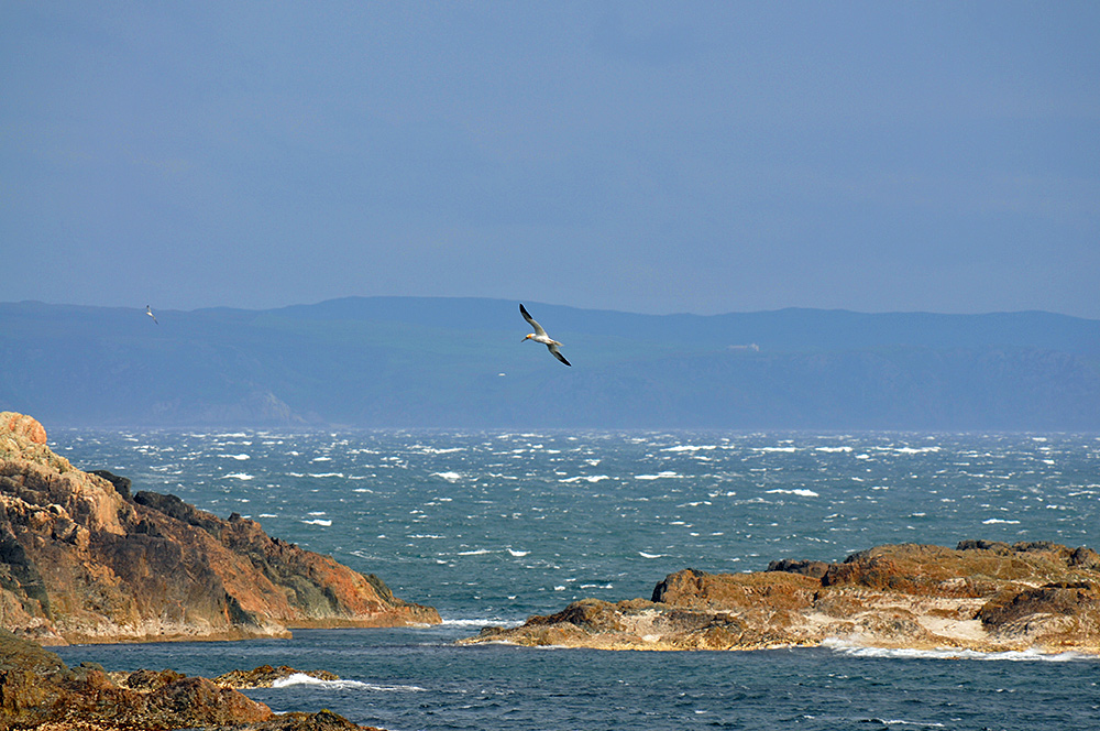 Picture of a Gannet flying over rocks, choppy sea and a peninsula in the background