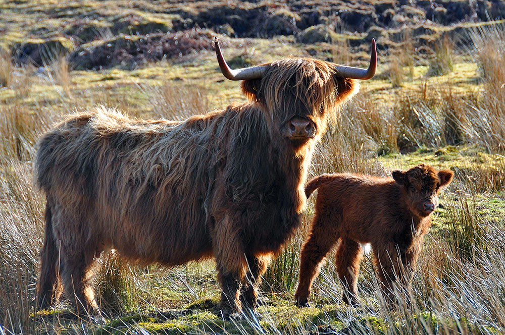 Picture of a Highland Cow with its calf