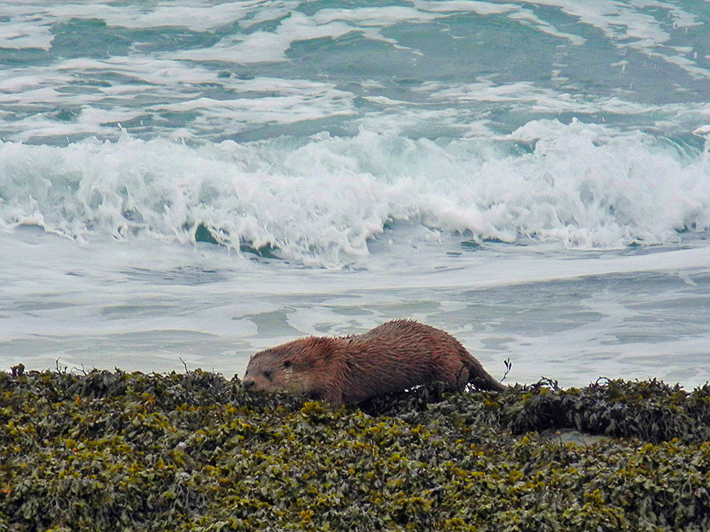Picture of an Otter on kelp covered rocks on a beach, waves in the background