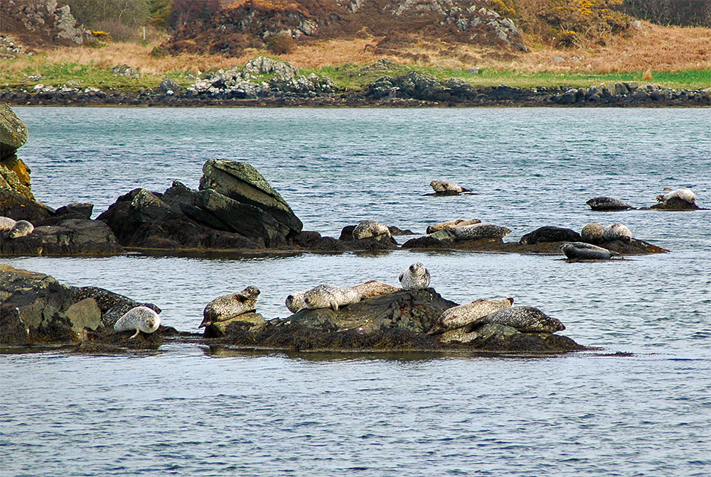 Picture of seals resting on various rocks along a shore