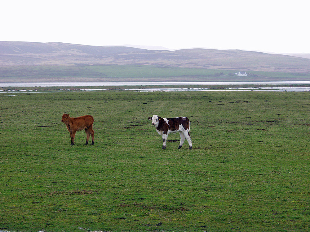Picture of two calves in a wet coastal field on a rainy day