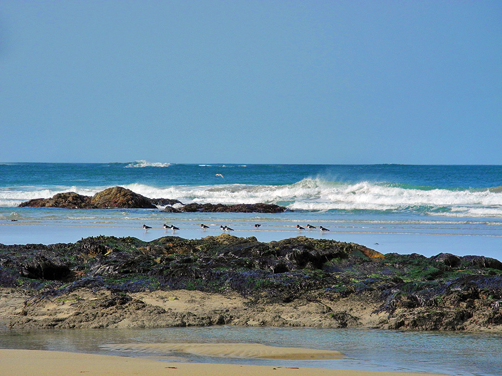 Picture of 10 Oystercatcher birds between rocks on a beach