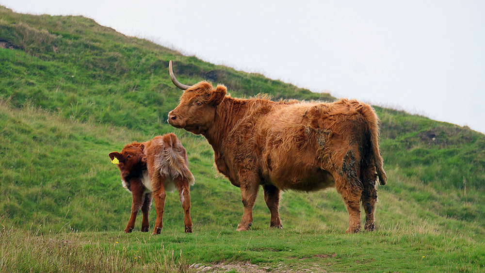 Picture of a unicow and her calf on a path on a hill