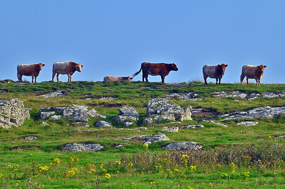 Picture of six cattle standing on a ridge