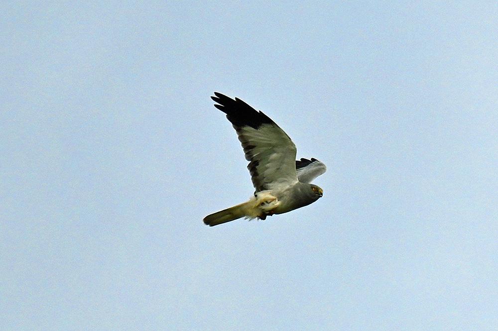 Picture of a male Hen Harrier in flight