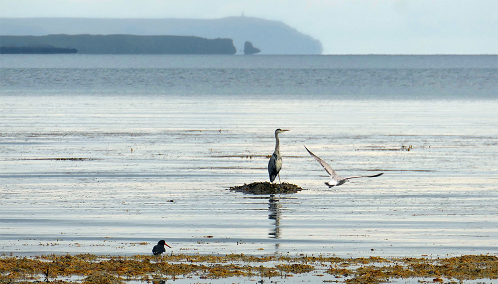 Picture of three birds (Heron, Oystercatcher, Gull) on a beach with cliffs in the distance